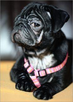Mops, Hund, Welpe, Tier, Mode Hund, Falten, Hunde, Mops Poster, Mops Leinwand, Mops Bild, Pug, dog, puppy, animal, dog fashion, folds, Pug Posters, Pug screen, pug picture