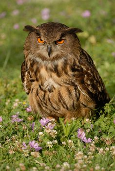 Eagle Owl (by marco branchi).