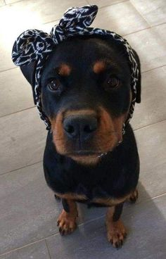 """Receive terrific recommendations on """"Rottweiler puppies"""". They are actually accessible for you on our website. Rottweiler Love, Rottweiler Puppies, Beagle, Dalmatian Puppies, Chihuahua Dogs, Cute Puppies, Dogs And Puppies, Cute Dogs, Doggies"""