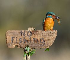 Kingfisher on No Fishing sign by DeanMason