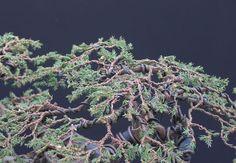 needle juniper bonsai