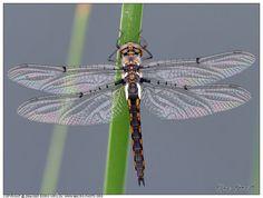 Stripe-winged Baskettail Dragonfly, Стрекоза бабка, Epitheca costalis