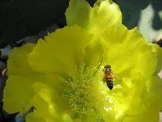 Sobre flor de opuntia - About flower of opuntia