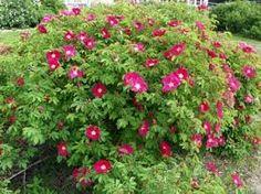 Bildresultat för Nordiska roser