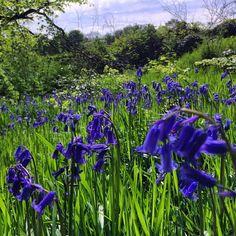 https://flic.kr/p/rTm8Ny | Magic fields of purple and green :) #upsticksandgo #green #purple #field #flowers #naturephoto #travelgram #travellingtheworld #glenhowepark #wharncliffeside #uk #midlands #michfrost