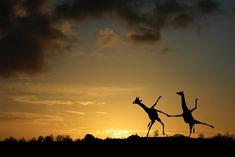 Happy Dancing Giraffes by Matt West