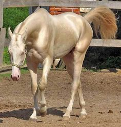 Akhal Teke is considered to be the most beautiful horse in the world. Akhal Teke is actually a horse breed from Turkmenistan Most Beautiful Horses, Some Beautiful Pictures, All The Pretty Horses, Akhal Teke Horses, Friesian, Breyer Horses, Beautiful Creatures, Animals Beautiful, Golden Horse