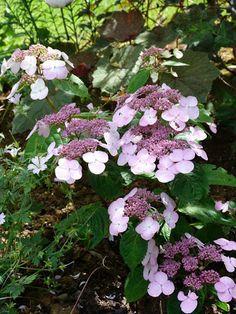 """hydrangea serrata """"Shojo"""". C'est une belle variété d'hydrangea. Vigoureux, il dépassera 1 m 50 de haut à l'âge adulte"""