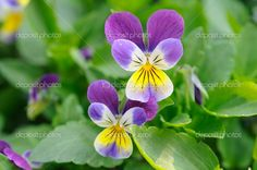 depositphotos_9477451-Purple-yellow-pansies.jpg (1024×680)