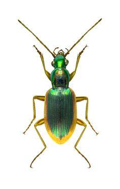 Chlaenius denticulatus