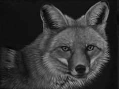 """I can See Through You"" Original 14 by 18 scratchboard portrait of a red fox. Scratchboard Art, Zimmerman, Red Fox, Wildlife, Portrait, Artist, Animals, Animales, Animaux"