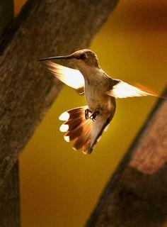 beautiful hummingbird in flight...