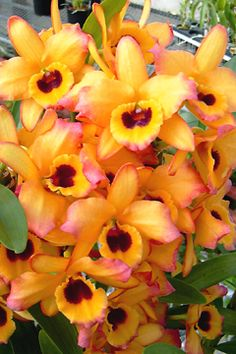 See related links to what you are looking for. Dendrobium Nobile, Phalaenopsis Orchid, Rare Flowers, Beautiful Flowers, Orchid Flowers, Fruit Plants, Wild Orchid, Passion Flower, My Secret Garden