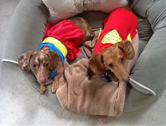 Super dachshunds!