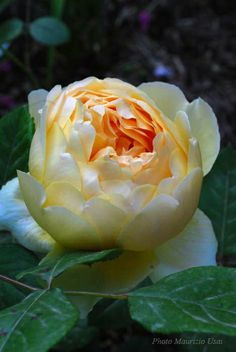 Rosa 'Jude the Obscure' (David Austin English Rose) - La Pietra Rossa garden in Sardinia, Italy - Photo Maurizio Usai