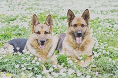 #collarbuddies #molly #twitter_gsd #germanshepherds #germanshepherdsofinstagram #germanshepherddog #gsdlove #gsdofinstagram #gsd #forevergermanshep #gsdpage #german_shepherds_are_awesome #germanshepherd101 #germanshepherdsonline #gsd4life #gsdphotoes #gsdcloudy #instagermanshepherd #gsduniverse