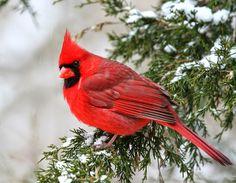Кардинал (Cardinalis cardinalis), род птиц из семейства вьюрковых населяющих Северную и Южную Америки (Энциклопедический словарь Брокгауза).