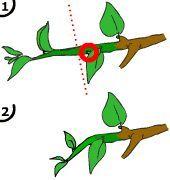 La poda del bonsai: como podar un bonsai