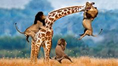 Lion Video National Geographic -  Lion Kills Giraffe, Lion Vs Giraffe
