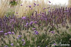 Galeria zdjęć - Verbena bonariensis - piękność z Argentyny - Ogrodowisko