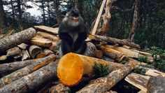 When the exceedingly rare snub-nosed monkey was first photographed two decades ago, the images served as a warning about the nation's environmental threats