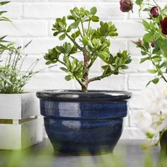 Shop for Wilko Blue Squat Bell Planter at wilko - where we offer a range of home and leisure goods at great prices. Vegetable Planters, Vegetable Storage, Trough Planters, Planter Pots, Garden Planters, Barrel Planter, Pot Lights, Stationery Craft, Self Watering Planter