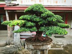 Podocarpus Bonsai, Bonsai Tree, Plants, Tree
