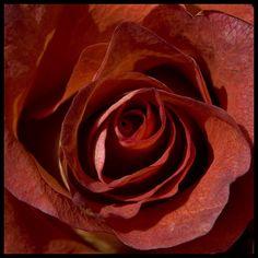 burnt sienna rose