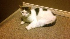 DSH White tabby male/ neutered;  DOB: July 2011 Oliver walked into his foster home filled with young children, cats, dogs and acted like he lived there forever!  The children adore him and he allows them to pick him up and never complains.  Oliver...