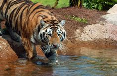 Louisiana State University |  LSU's mascot, Mike VI, is a live Bengal-Siberian Tiger mix that lives in a 15,000 square foot habitat across from Tiger Stadium. You can watch him live on-line!