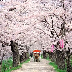 Cherry Blossom Tours @ Japan