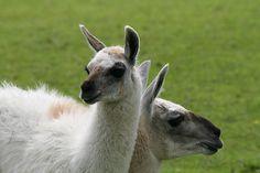 nice Llama and baby llama faces together - Eshott Heugh Animal Park, Felton, Northumberland