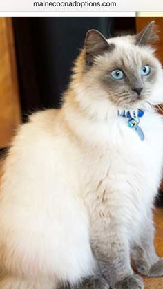 ADOPTED - Thank you to everyone who pinned Susie. She has been adopted!!  Susie is a 2-year-old ragdoll-mix kitty with super soft fur and stunning blue eyes! She is very outgoing and playful.  www.MaineCoonAdoptions.com. Oakland, CA    #MCA