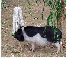 Why you need to give your pig things to do. Mini pigs have minds like a toddler and they need to be kept occupied. Bored pigs are often destructive pigs. These ideas can help your pig overcome boredom while also teaching them better ways to utilize their
