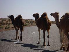 モロッコ南部、西サハラのどこまでも広がる果てないサハラ砂漠の美しさと道路を横切る野生のらくだ達 - GIGAZINE