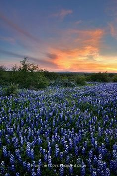 No doubt in my mind -- the most beautiful wildflowers anywhere! Texas Bluebonnets.