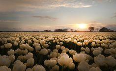 warme tulpen
