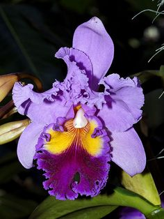 "Orchid. Laelicocattleya, Drumbeat, ""Heritage"" Orchidaceae"