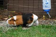 Knowing what can guinea pigs eat and what guinea pigs can't eat is really important since you don't want to poison your pet with something you think it loves. The guinea pig is Animal Facts For Kids, Animals For Kids, Low Maintenance Pets, Pigs Eating, Getting A Kitten, Cute Guinea Pigs, Owning A Cat, Exotic Fish, Animals Of The World