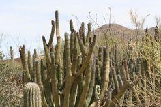 Organ Piper Cactus Tucson Arizona