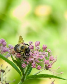 https://flic.kr/p/VbAVsx | Bee on Milkweed