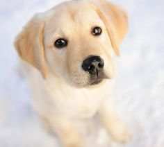 The cutest photo of a #LabradorRetriever puppy we've seen all day.