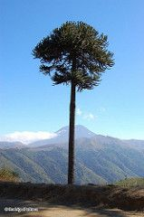 Araucaria araucana en Cuesta Las Raíces (Chilebosque) Tags: árboles araucaria araucariaaraucana araucana araucariaceae