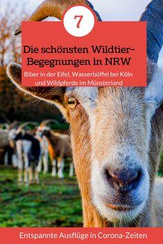 NRW ist dicht besiedelt – und trotzdem ein Refugium für Wildtiere. Wiedereingewanderte Biber, scheue Wildkatzen und seltene Schmetterlinge leben in der Eifel. Imposante Hochlandrinder, Auerochsen und Wildpferde im Münsterland. Und vor den Toren Kölns grasen sogar asiatische Wasserbüffel. Die 7 schönsten Möglichkeiten, Wildtiere in NRW zu beobachten, stelle ich im Artikel vor.