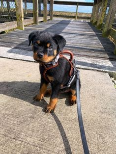 Super Cute Puppies, Cute Baby Dogs, Cute Dogs And Puppies, Doggies, Cute Little Puppies, Big Dogs, Rottweiler Dog Puppy, Rottweiler Puppies For Sale, Rotten