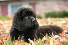 Newfie + Autumn = Complete and Utter Bliss.
