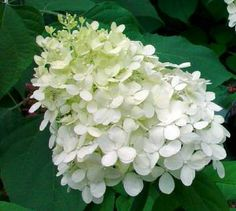 hydrangea flowers - Google Search