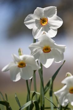 ~Springtime Whispers Cottage~ My mom called them Jonquils! I love these flowers of my childhood. PK