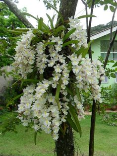 Rodriguezia venusta, an orchid by Moises Bravim.  Nice touch to add interest to a garden