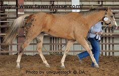 Sooty Palomino with large collection of Bend Or Spots